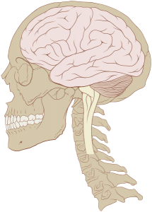 human_skull_and_brainstem